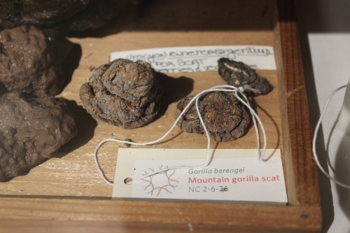 Photograph of feces from a Mountain Gorilla